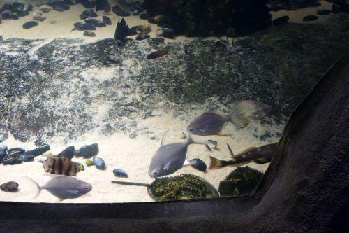 Platée im Aquarium